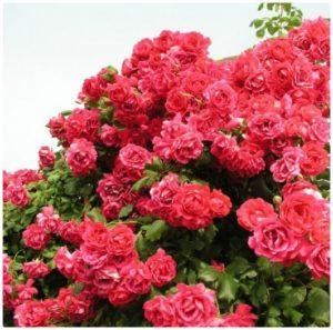 roza_