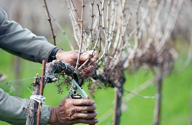 odrezka-vinograda-osenju