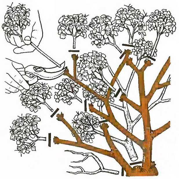 gortenziia-metelchataia-obrezka