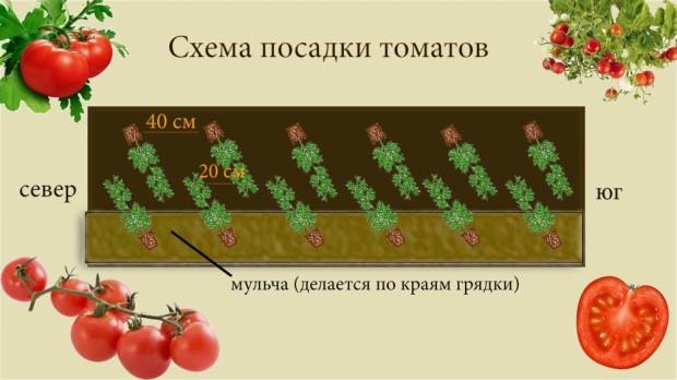 shema_posadki_tomatov