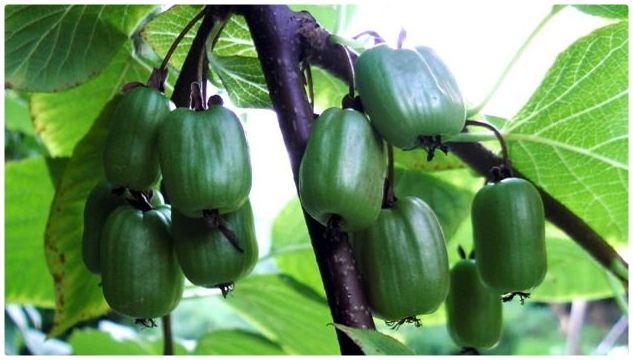 Золотая жила: в Сочи решили заработать на выращивании киви