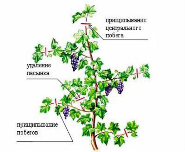 Посадка и уход за виноградом августин