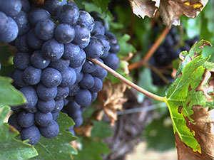 vinograd0