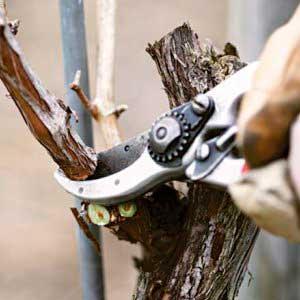 Обрезать виноград осенью