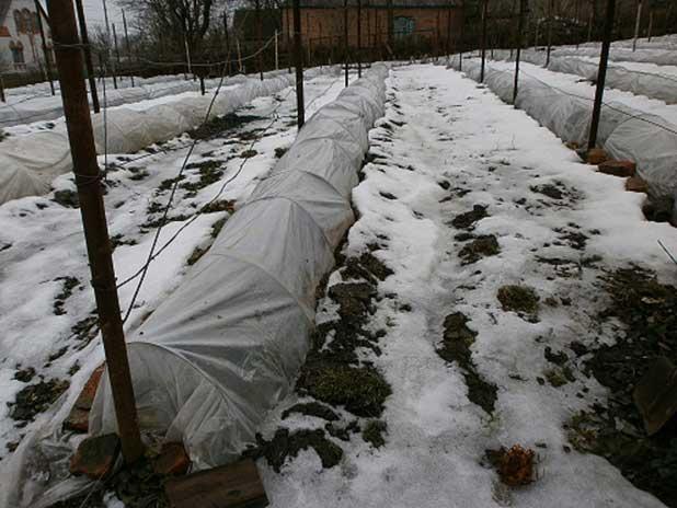 Виноград укрытие на зиму видео