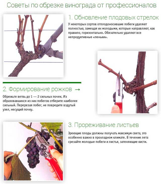 Выращивание винограда и обрезка 591