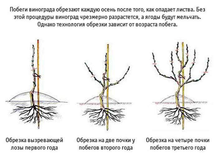 Схема обрезки винограда по годам рисунки Справочник виноградаря Схема обрезки винограда