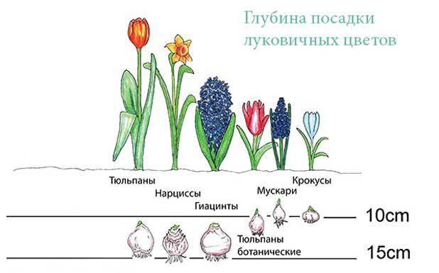 glubina-posadki-lukovichnuh-cvetov