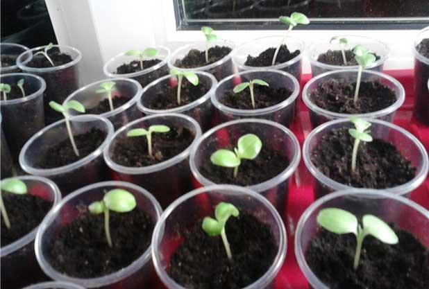 Бальзамин семена выращивание 44