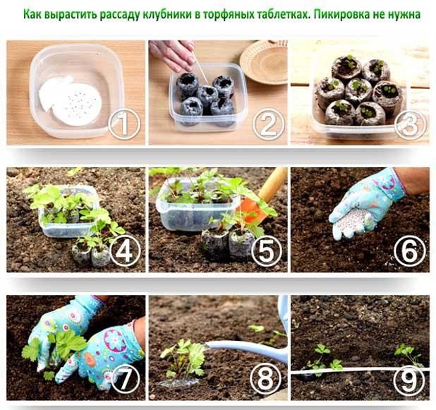 Как в домашних условиях вырастить рассаду клубники