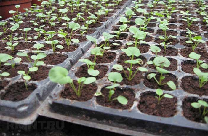 Виола рассада выращивание 15