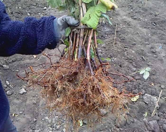 Как сажать малину осенью с корнями 896
