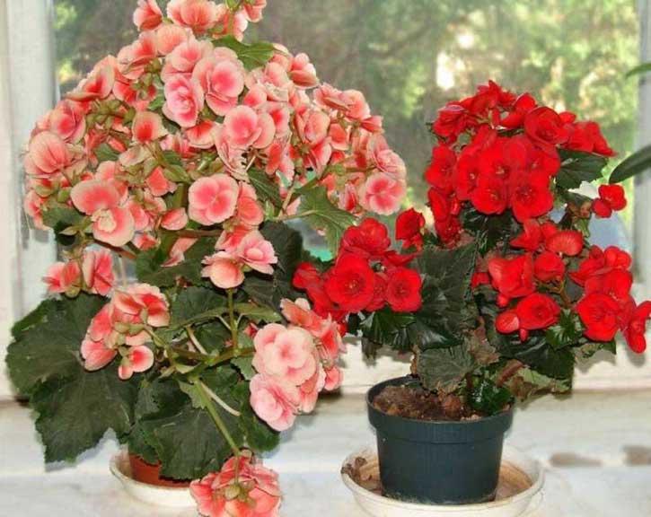 Цветок бегония в домашних условиях